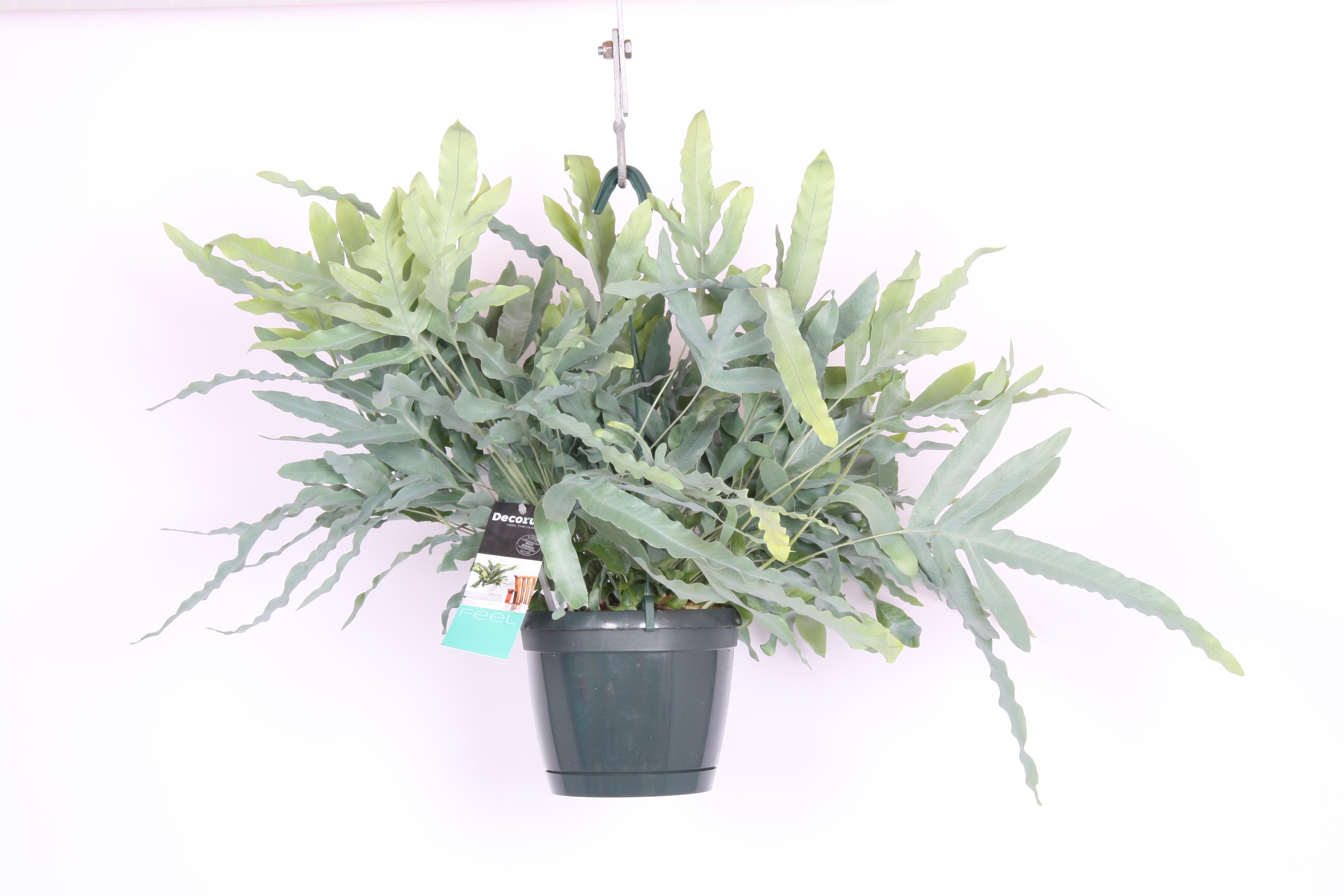 phlebodium aureum 39 blue star 39 hillplant bv. Black Bedroom Furniture Sets. Home Design Ideas